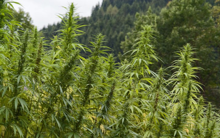 Industrial Hemp Derived CBD is Legal in All 50 States