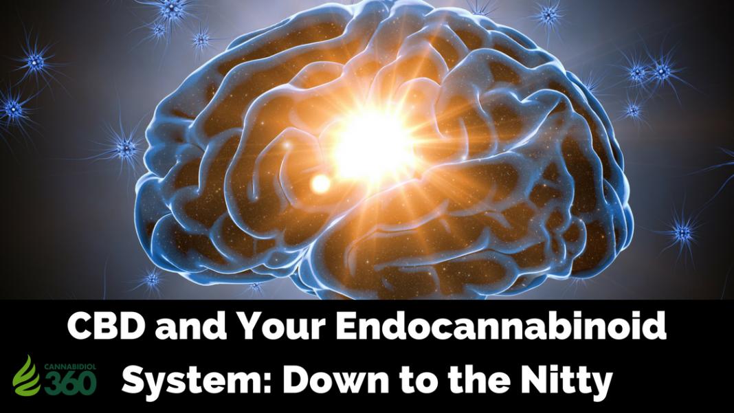 Endocannabinoid System and CBD