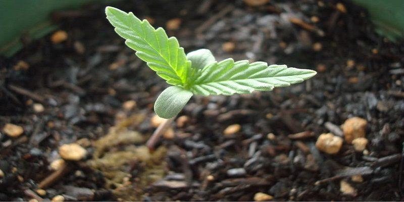 Cannabis Seedling Stage Cannabidiol 360