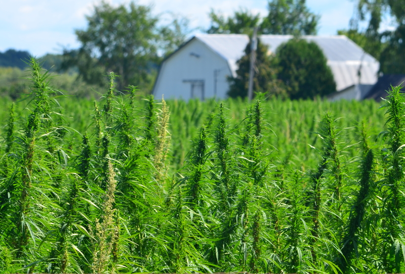Organic Farming of Hemp and Marijuana