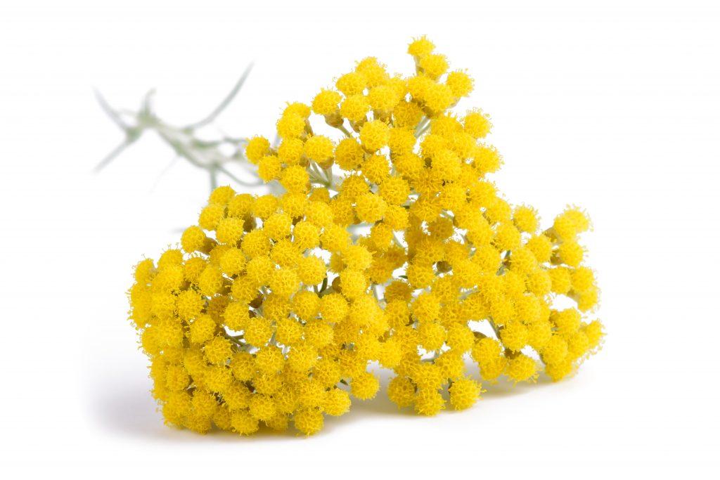 Helichcrysum CBG