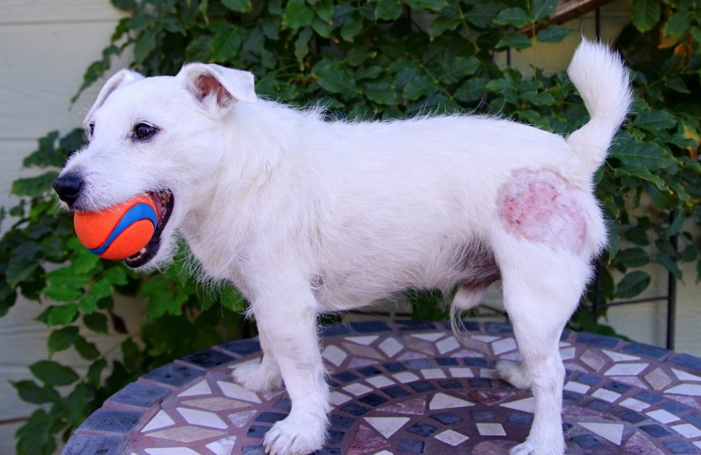What Causes Skin Allergies in Dogs?